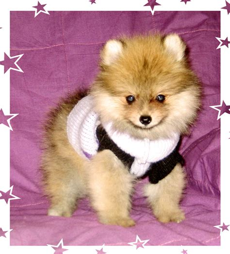 colored pomeranian pomeranian colors poofy poochies
