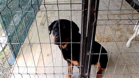 dog house for rottweiler rottweiler dog house from romania youtube