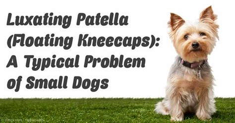 luxating patella in yorkies 17 best images about pets and animals on cats bone broth and for dogs