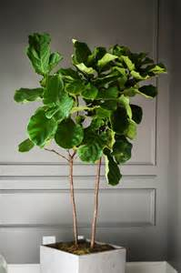 fiddle leaf fig going green never looked so fiddle