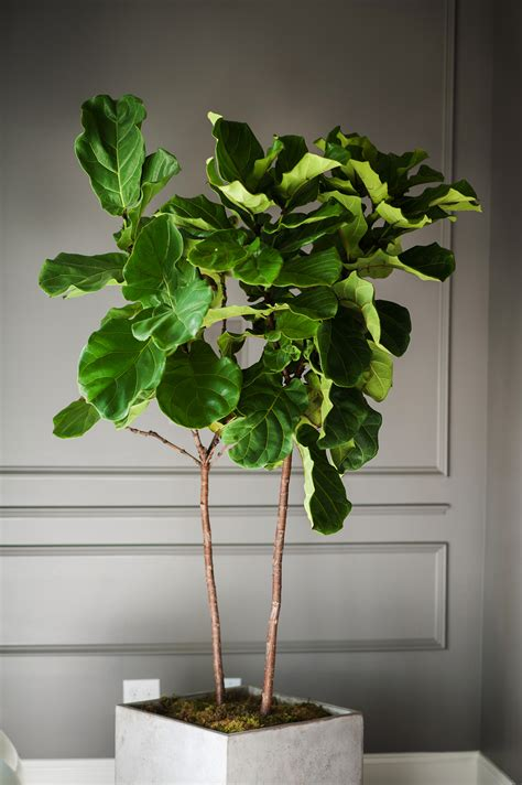 fiddle leaf fig tree indoor www imgkid com the image