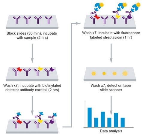 protein 4 1r human igf signaling antibody array 10 targets