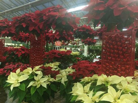 hicks nursery christmas trees 11 best images about 2014 at hicks nurseris on trees fresh cut
