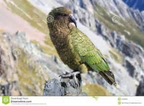 kia new zealand parrot royalty free stock photo image