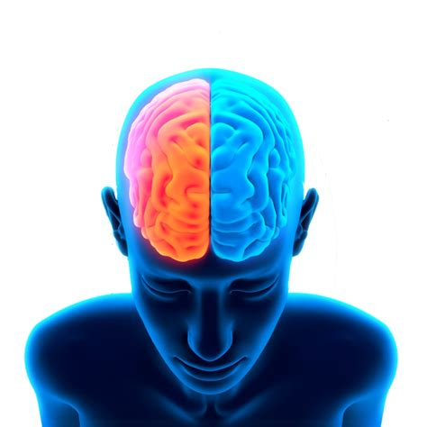 Brain   Clip Art Library