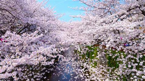 places  tokyo   cherry blossoms  spring