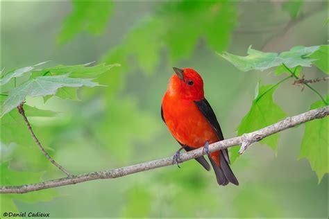 scarlet tanager birdwatching