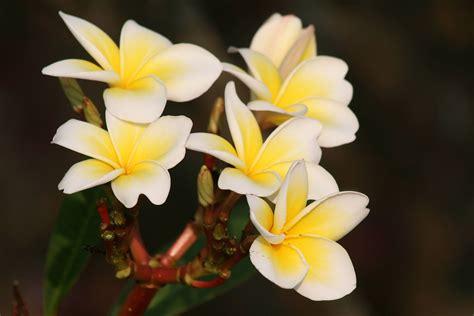 Flower Plants India - the fickle frangipani lakesideindia