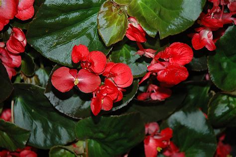 Home Design Center Skokie by Big Red With Bronze Leaf Begonia Begonia Big Red With