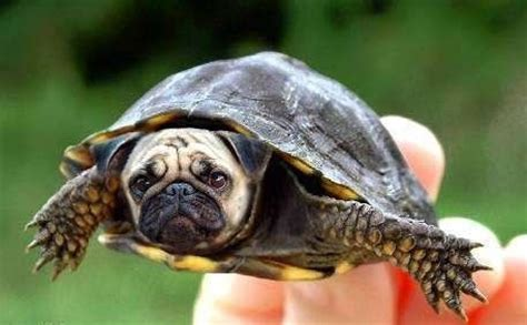 pug turtle pug turtle purtle but wins the race