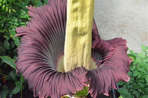 corpse flower famously foul corpse flower that smells like rotting meat is now blooming at nybg blooming