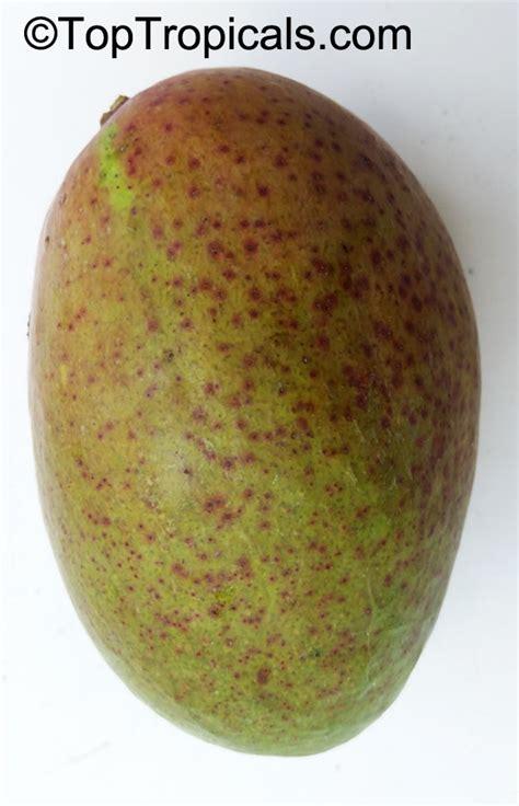 fruit punch tree mangifera indica mango toptropicals