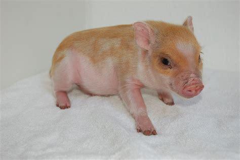 sau decken nutztiere minischweinchen tieranzeigen seite 2