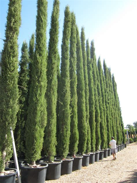 Miniature Plants For Sale by Cypress Trees And Conifers