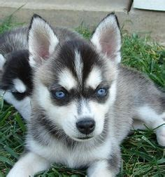 pomeranian husky hypoallergenic 1000 images about my favorite dogs on alaskan klee mini huskies and