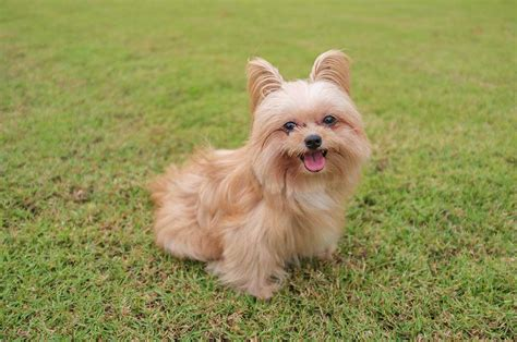 yorkie pomeranian puppies yorkie mixed breeds breeds picture
