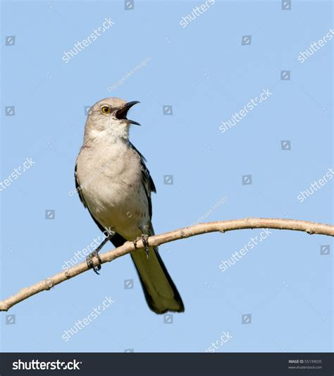 singing northern mockingbird mimus polyglottos stock photo