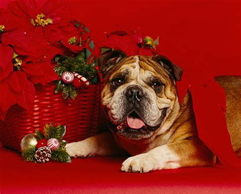 poinsettia and dogs decorations animal stock photos kimballstock