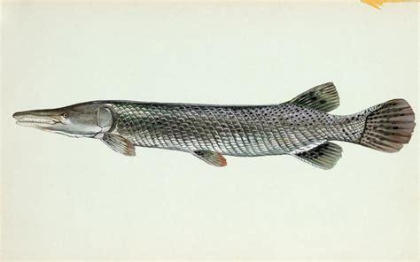 Ikan Aligator Spatula alligator gar louisiana department of wildlife and fisheries