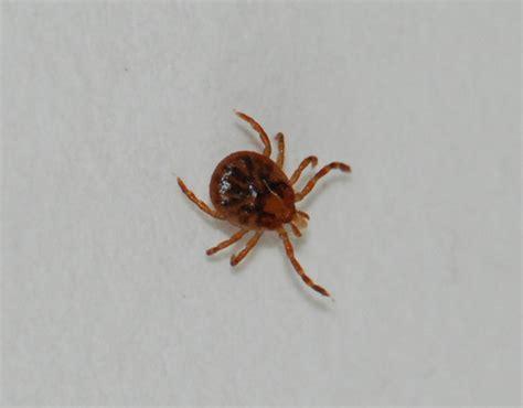 ticks in bathroom deer tick black legged tick ixodes scapularis may 23