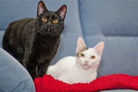 Types Of Domestic Shorthair Cats   www.pixshark.com