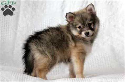 corgsky puppies for sale 1000 images about pomskie on pomsky puppies grown pomsky and husky