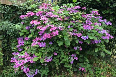pflanzen für schattige plätze hortensien idee garten