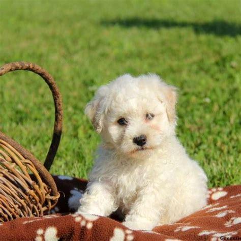 bichon frise puppies for sale bichon frise puppies for sale greenfield puppies