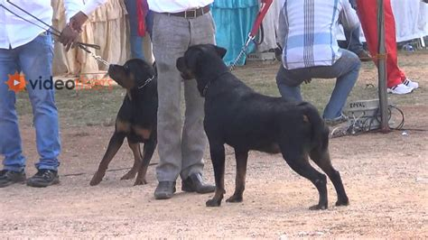 rottweiler competition amazing rottweiler dogs in hyderabad competition 2013