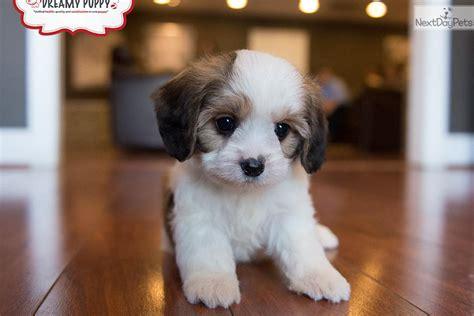 dreamy puppy cavachon puppy for sale near washington dc b869e1c5 66f1