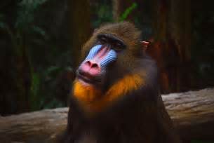 monkey with colorful mandrill monkeys in africa