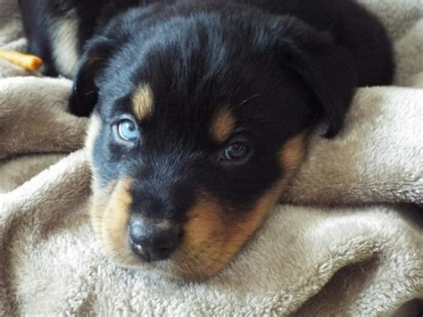 husky rottweiler puppies this is my new puppy husky rottweiler mix aww