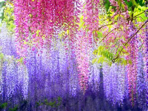 wisteria color wisteria vine for the patio landscape a magnificent