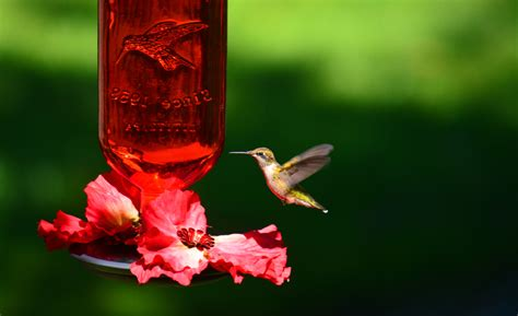 will more hummingbird feeders attract more birds shawna