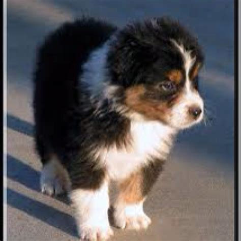 black australian shepherd puppy black tri australian shepherd puppy aussies