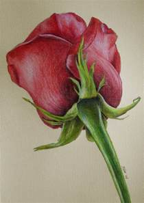 Galerry flower colored pencil drawings