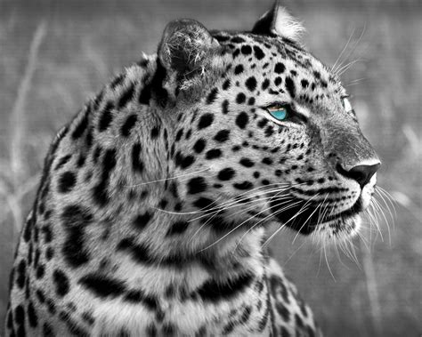black and white leopard wallpaper black and white leopard desktop wallpapers 1280x1024