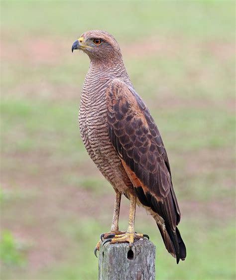 the hawks savanna hawk wikipedia