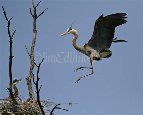 Great Blue Herons With Young In Southern Wisconsin On May Blue Heron Nh 2