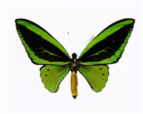 Free Animated Butterfly Clipart Clipart Best Moving Butterfly For Powerpoint