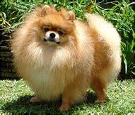 pomeranian dog breeds information pomeranian dogs hills pet