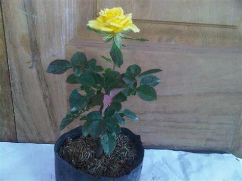 Tanaman Hias Mawar Kuning tanaman mawar kuning yellow jual tanaman hias