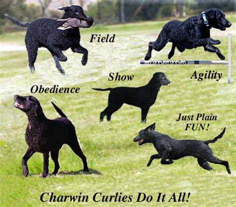 Curly Coated Retriever Puppies Picture And Images