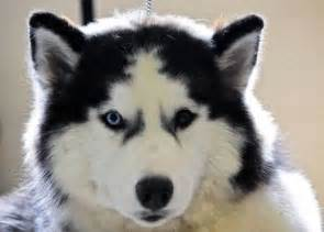 husky puppy facts 25 best ideas about siberian husky facts on siberian husky puppies