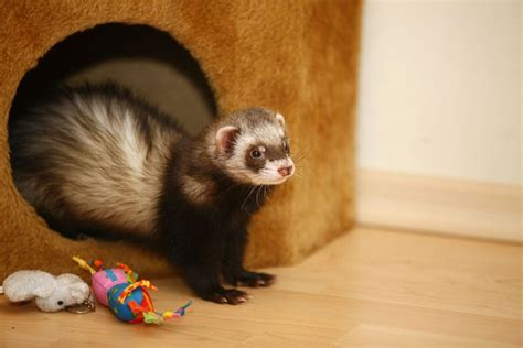 keeping ferrets as pets pets4homes
