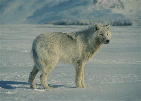 alaskan wolf der alaska tundra wolf