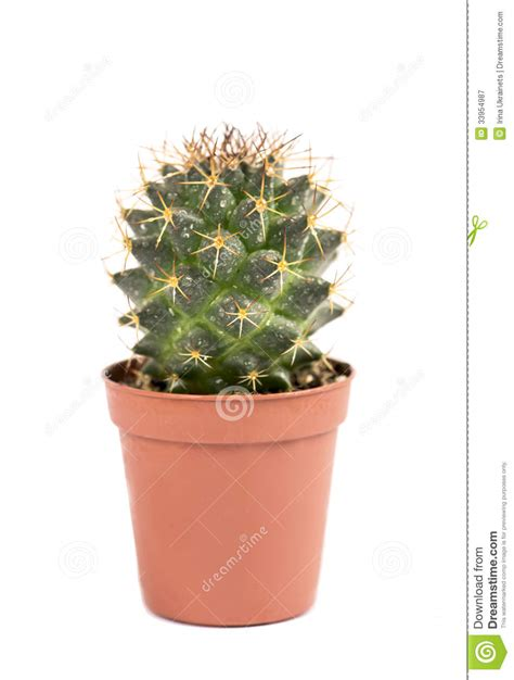 small potted cactus plants stock photo image 68600366 close up of small cactus houseplant in pot royalty free