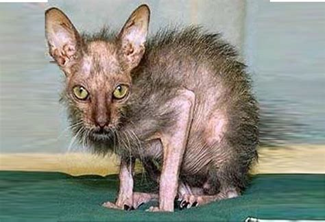 Ugly Cat Meme - ugly cat meme 28 images gallery for gt ugly cat memes