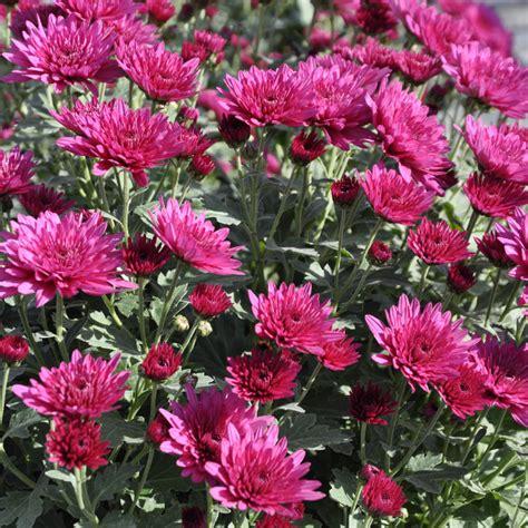 herbstblumen garten herbstblumen und pflanzen tipps f 252 r den herbstlichen