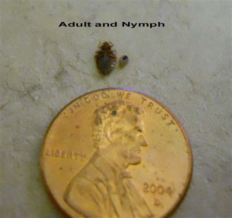 adult bed bug bed bug adult and nymph by penny